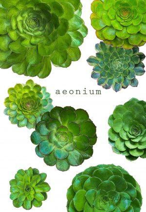 succulent Aeoniums organic cotton towel